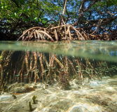 Mangrove tree over and under the water surface Stock Image