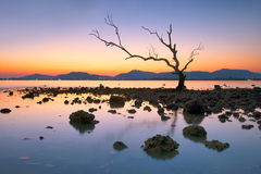 Mangrove tree at Phuket. ALONE MANGrovE TREE IS THE MOST WELL-known place for photographer Stock Photo