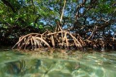 Mangrove tree Rhizophora mangle in the water Stock Photography