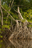 Mangrove Tree Root System Stock Images
