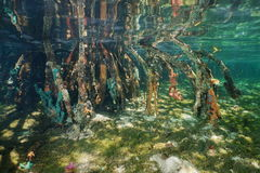 Mangrove tree roots with sea sponges underwater Stock Photos