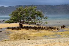 Mangrove tree with roots at Segar beach on Lombok, Indonesia stock image