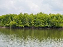 Mangrove Trees in Slow Moving Water. Mangrove Tree Roots in Slow-moving Waters Allow Fine Sediments to Accumulate, located in Lubuk Kertang, North Sumatra Royalty Free Stock Images