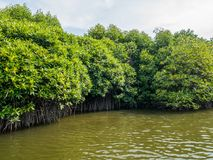 Mangrove Tree Roots in Slow-moving Waters Allow Fine Sediments to Accumulate. Mangrove Tree in River Forest Conservation in Lubuk Kertang, North Sumatra Royalty Free Stock Image