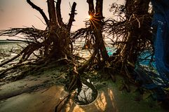 Mangrove tree roots. Sunlight over mangrove tree roots royalty free stock images