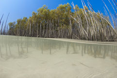 Mangrove tree with roots in a tropical lagoon Royalty Free Stock Images