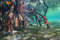 Mangrove tree roots under the water Caribbean sea Royalty Free Stock Photos