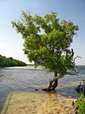 Mangrove tree in the sea Stock Images