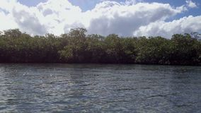 Mangrove tree in a sea. At sunny day stock footage
