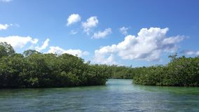 Mangrove tree in a sea. At sunny day stock video footage