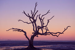 Mangrove tree silhouette. Beautiful pink and blue sky with a silhouette of a dead tree with gnarled branches at Clairview, Queensland, Australia Stock Photography