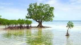 Mangrove tree.  Siquijor island, Philippines Stock Image