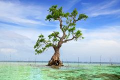 Free Mangrove Tree. Siquijor Island, Philippines Stock Photo - 29336550