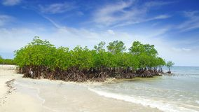 Mangrove tree.  Siquijor island, Philippines Stock Photography