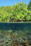 Mangrove tree split-shot with coral underwater Stock Photo