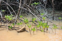 Mangrove tree sprouts Stock Photo