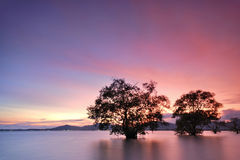 Mangrove tree sunset Royalty Free Stock Image
