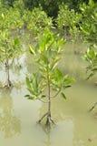 Mangrove tree,Thailand Royalty Free Stock Image