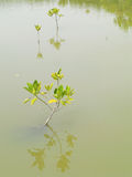 Mangrove tree,Thailand. Mangrove tree on water in Thailand Stock Images