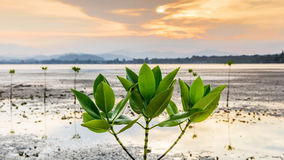 Mangrove tree on twilight time Royalty Free Stock Images