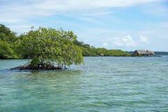 Mangrove tree in water Bocas del Toro Panama Royalty Free Stock Photography