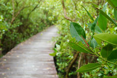 Mangrove treee in the reforestation in Petchaburi Stock Photography