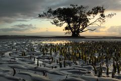 Mangrove trees Royalty Free Stock Photos