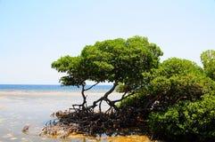 Mangrove trees. On coast of Roatan Honduras stock image