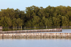 Mangrove trees in Abu Dhabi Stock Photos