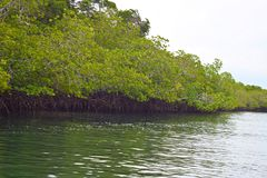 Mangrove Trees with Aerial Roots in Forest and Water Creek - Green Landscape - Baratang Island, Andaman Nicobar, India. This is a photograph of mangrove trees royalty free stock image
