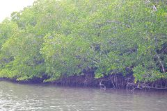 Mangrove Trees with Aerial Roots in Forest and Water Creek - Green Landscape - Baratang Island, Andaman Nicobar, India. This is a photograph of mangrove trees royalty free stock images