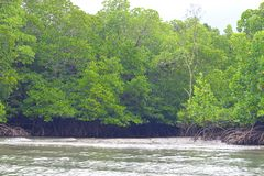Mangrove Trees with Aerial Roots in Forest and Water Creek - Green Landscape - Baratang Island, Andaman Nicobar, India. This is a photograph of mangrove trees royalty free stock photos