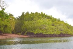 Mangrove Trees with Aerial Roots in Forest and Water Creek - Green Landscape - Baratang Island, Andaman Nicobar, India. This is a photograph of mangrove trees stock photos