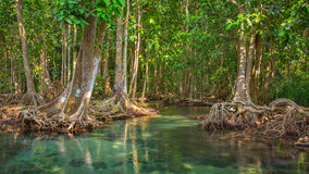 Mangrove trees along the turquoise green water Stock Images