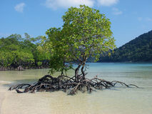 Mangrove trees in bay Royalty Free Stock Photography