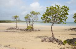 Mangrove trees on the beach at frangipani beach stock images