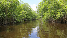 Mangrove trees on Black River Royalty Free Stock Photos