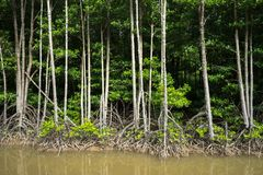 Mangrove trees closeup in Ca Mau province, Mekong delta, south of Vietnam.  royalty free stock images