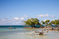 Mangrove trees, Cuba Stock Photos