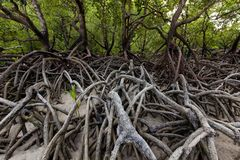 Mangrove trees forest on tropical shore Royalty Free Stock Photo