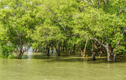 Mangrove trees forest near Don Hoi Lot Royalty Free Stock Photography