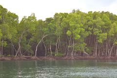 Mangrove Trees in Forest and Water Creek - Green Landscape - Baratang Island, Andaman Nicobar, India. This is a photograph of mangrove trees, their roots, and royalty free stock photography