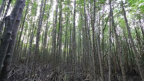 Mangrove trees. Mangrove forest and wood bridge in Thailand stock video