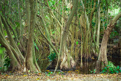 Mangrove trees growing in the water Royalty Free Stock Photos