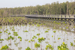 Mangrove trees are grown in coastal. East of thailand Royalty Free Stock Image
