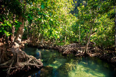 Mangrove trees interlaced roots river water under sunlight. Green mangrove trees with interlaced whimsically roots and river water under bright sunlight Stock Image