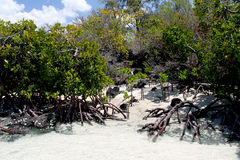 Mangrove Stock Photos