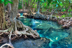 Mangrove trees Royalty Free Stock Photography
