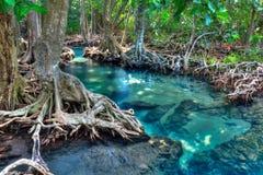 Mangrove trees Royalty Free Stock Photography
