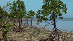 Mangrove trees stock footage